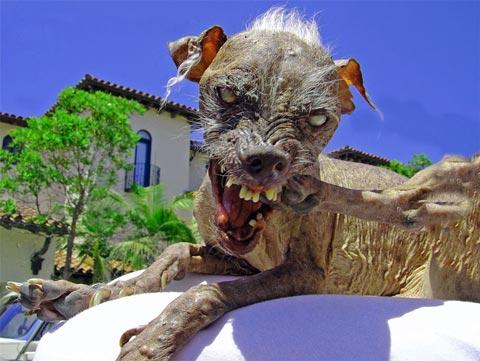 http://www.funnies.com/ugliest-dog-3.jpg